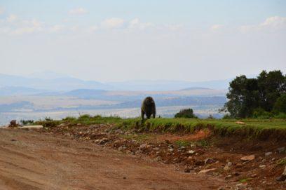 baboon mount kenya